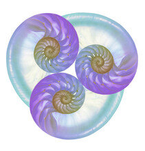Three Colored Nautilus Shells Combined Into Art