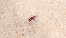 A Beautiful Crimson And White Big Sand Tiger Beetle (Cicindela Formosa) On The Sandy Ground In Eastern Colorado