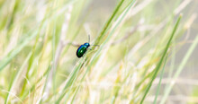 An Iridescent Green Dogbane Leaf Beetle (Chrysochus Auratus) Perched On A Stalk Of Green Grass In Colorado