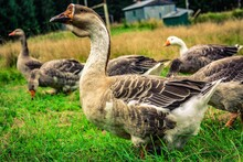 Country Goose On The Grass
