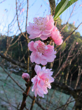 Close Up Pink Prunus Cerasoides Or Wild Himalayan Cherry With Dew In The Morning