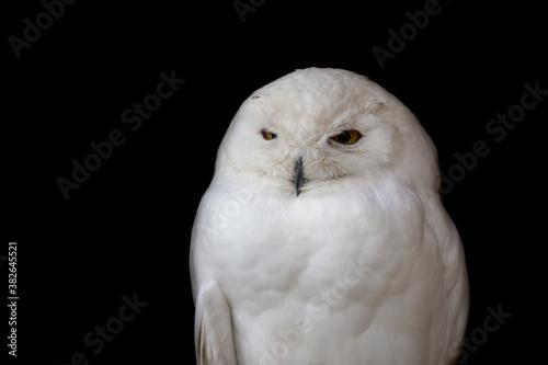 Cuadros en Lienzo Civetta bianca