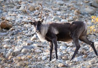 Mountain caribou in the fall