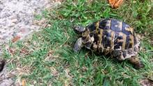 Caucasian Land Turtle Crawling...