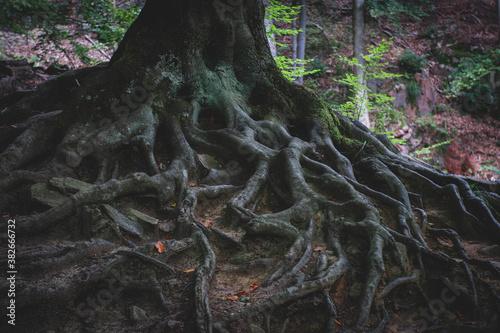 Obraz Korzenie drzewa - fototapety do salonu