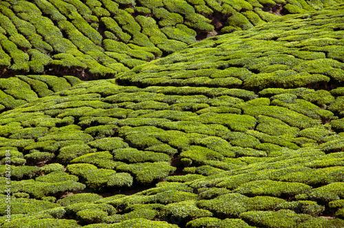 фотография Tea plantation of Munnar