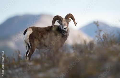 Papel de parede Stone sheep in the wild