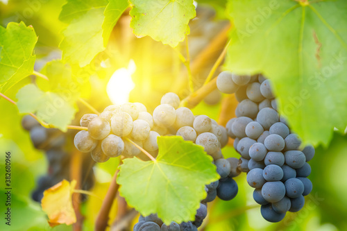 Photo closeup vine berry cluster on a branch, autumn agricultural background