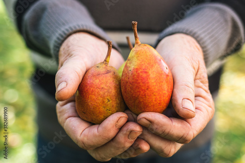 Pears in hands. Old farmer holding harvested fruit