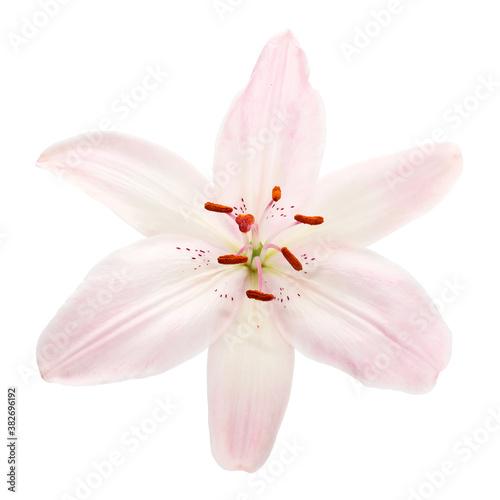 pink lily isolated on white background © Olga Burmistrova