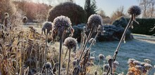 Dried Flowers In First Frost