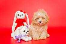 Little Puppy Of Breed Maltipoo...