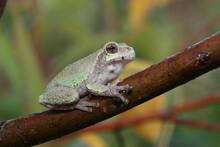 Juvenile Gray Treefrog (Hyla Versicolor) Sitting On A Tree Branch.