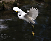 Snowy Egret Stock Photos. Close-up Profile View Flying Over The Water And Displaying Spread White Wings, Beak, Fluffy Plumage, Yellow Feet In Its Environment And Habitat. Image. Portrait. Picture.