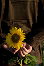 A Man Holds A Plucked Sunflowe...