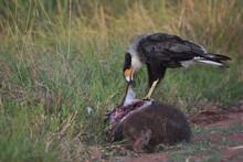 Southern Crested Caracara (Caracara Plancus) Feeding , Iberá Wetlands, Argentina
