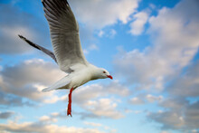 A Freeze Frame Of Silver Gull Flies The Air. This Species Is Common In Australia. They Live Throughout The Continent, Smart And Like To Steal Food From Beach-goers. Hence They Are Also A Pest.