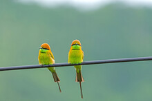 Two Green Birds Green Bee-eater   Scientific Name Merops Orientalis Perched On A Wire.