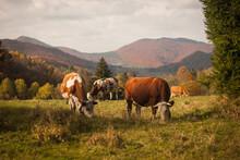 Mountain Cows Grazing On A Pas...