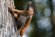 A Red Squirrel Peeks Out Its H...