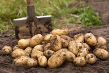 Organic Potato Harvest Close Up. Freshly Harvested Potato With Shovel On Soil In Farm Garden