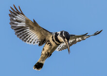 Pied Kingfisher In Wildlife Of...