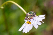 Rose Chafer - Cetonia Aurata - With Marguerite