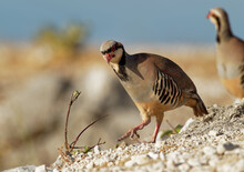 Chukar (Alectoris Chukar) On T...