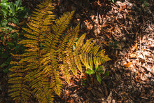 Red Autumn Fern In The Forest ...