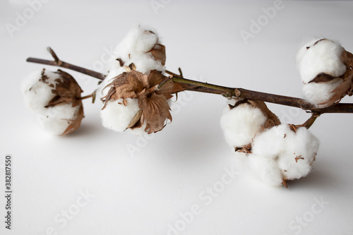 branch of cotton on a white background © to_go