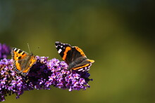 Red Admiral Butterfly And Another Butterfly Feasting On A Buddleia Plant In Front Of A Blurred, Green Background