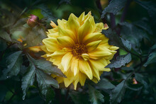 Yellow Chrysanthemum Bud In Au...