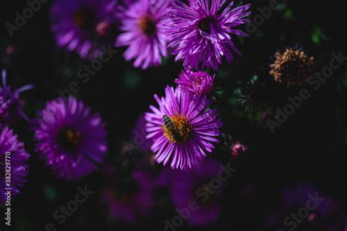 lila Blüten mit einer Biene im freien, Sommer, Natur
