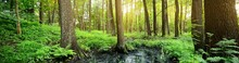 Swampy Forest, Moss, Fern, Plants. Sun Rays Flowing Through The Old Trees, Tree Logs Close-up. Panoramic View. Tranquil Landscape. Ecology, Ecosystems, Environmental Conservation Theme