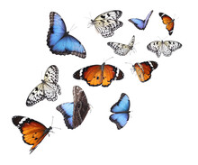 Amazing Plain Tiger, Common Morpho And Rice Paper Butterflies Flying On White Background
