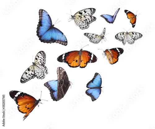 Fototapeta Amazing plain tiger, common morpho and rice paper butterflies flying on white background obraz