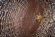 Common Garden Spider Tends Her...
