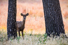 White-tailed Doe In Forest. Co...