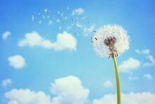 Dandelion With Seeds Blowing A...