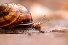 Big Striped Grapevine Snail Wi...