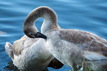 A Young Mute Swan Cleans Its Feathers, Two Mute Swans On The Shore Of A Lake