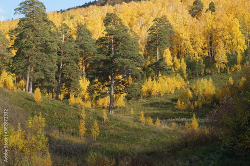 Fototapety, obrazy: autumn forest landscape nature mountain wood Pine Birch tree