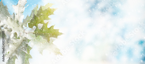 Obraz Winter background with snowy oak leaves and natural winter bokeh. Snow nature landscape with copy space for text - fototapety do salonu