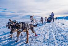 Husky Sled Dogs Ready To Go Sledding, Sweden