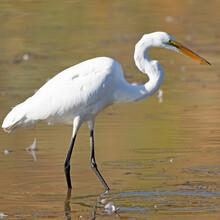 Great Egret (Casmerodius Albus...