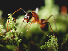 Macro Photo Of Ant On Green Mo...