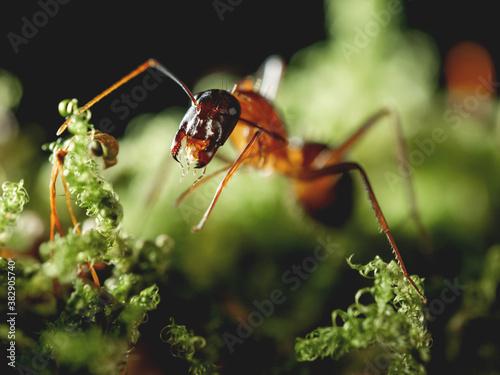 Macro photo of ant on green moss Wallpaper Mural