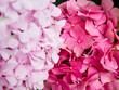 pink  hydrangea  flowers