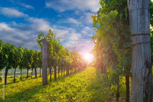 Beautiful vineyards of Vipava valley at the sunset.