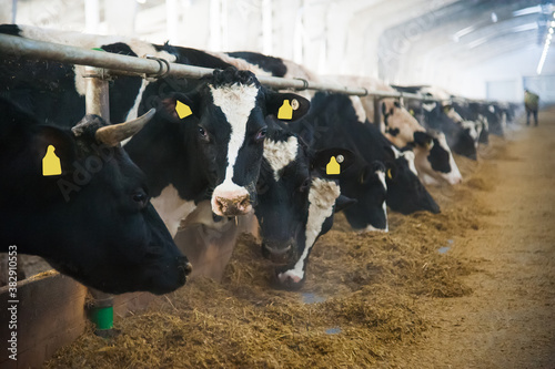 Photo Cows in a farm. Dairy cows